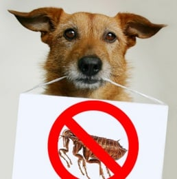How to Get Rid of Fleas with Flea Control