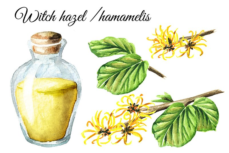Witch hazel with leaves, flowers and tincture set