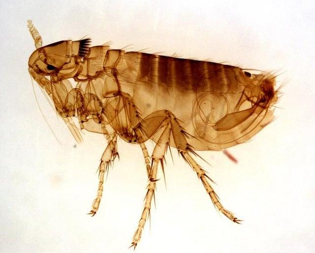 Adult male flea picture