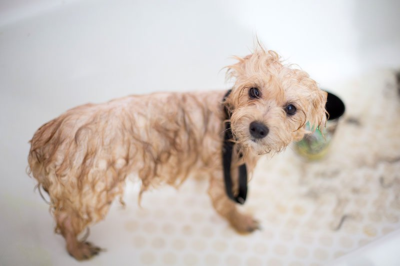 How to give your pet a flea bath