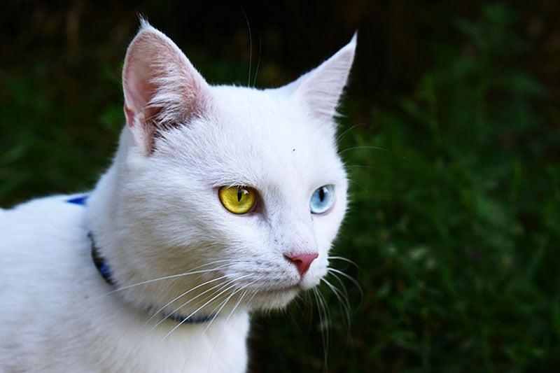 Flea collar on cat