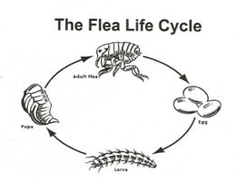 Flea Life Cycle - Learn About the Four-stage Life Cycle of Fleas