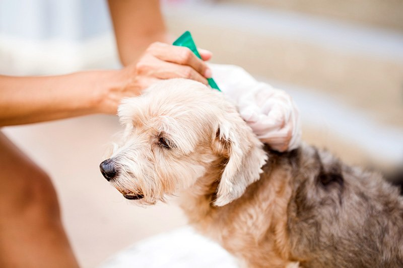 Treating pet for fleas