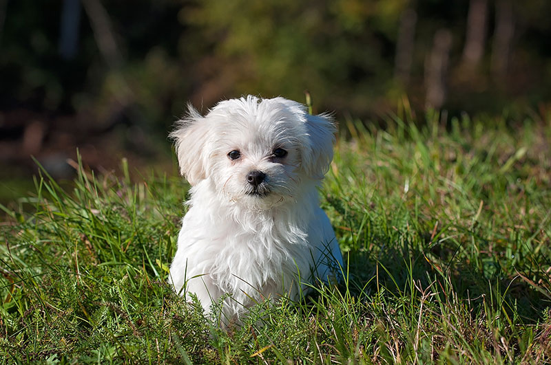 Flea prevention for puppies