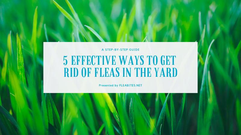 Fleas in yard