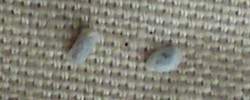 Flea Pupae – Third Stage of the Flea Life Cycle