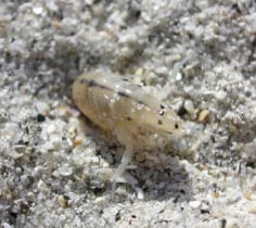 Sand Fleas - What Are They and How Do You Get Rid of Them