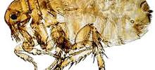 Human Fleas – Pulex Irritans Bites