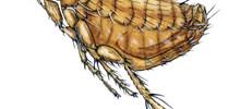 Rat Fleas – Xenopsylla Cheopis or Nosopsyllus Fasciatus Bites
