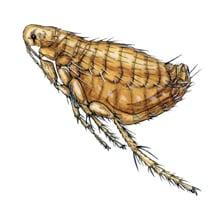 Rat Fleas - Xenopsylla Cheopis or Nosopsyllus Fasciatus Bites