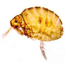 Sticktight Fleas - Echidnophaga Gallinacea Bites