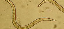 Beneficial Nematodes for Fleas – How They Work