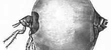 Jigger or Chigoe Fleas – Tunga Penetrans Bites