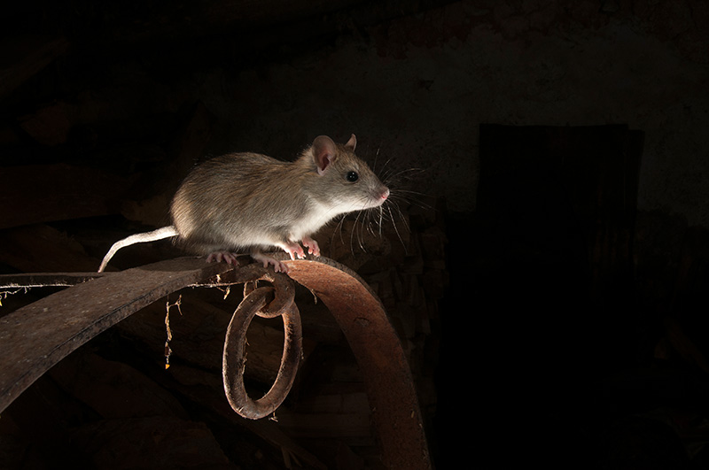 Portrait of black rat or rattus rattus
