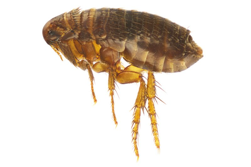 Photo of Cat flea - Ctenocephalides Felis