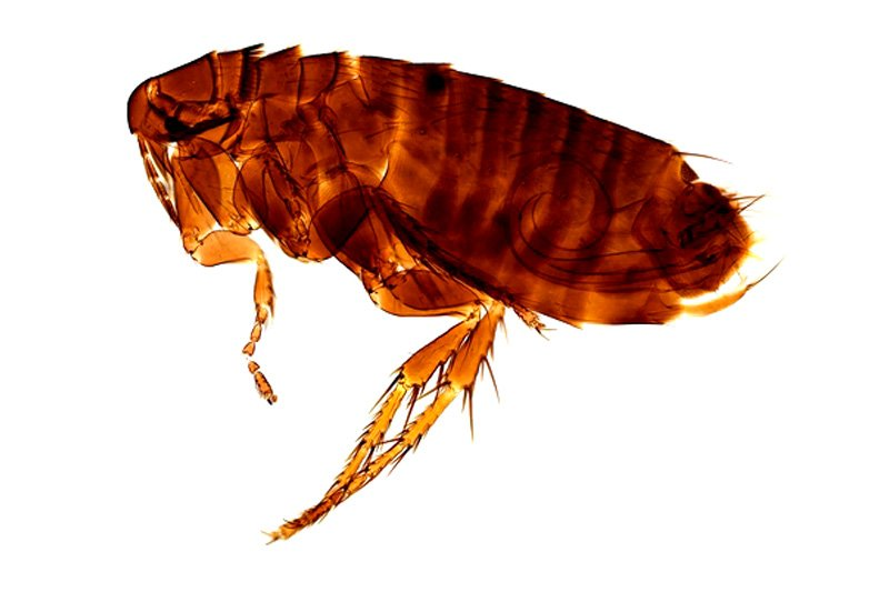 Photo of Chicken flea - Ceratophyllus Gallinae