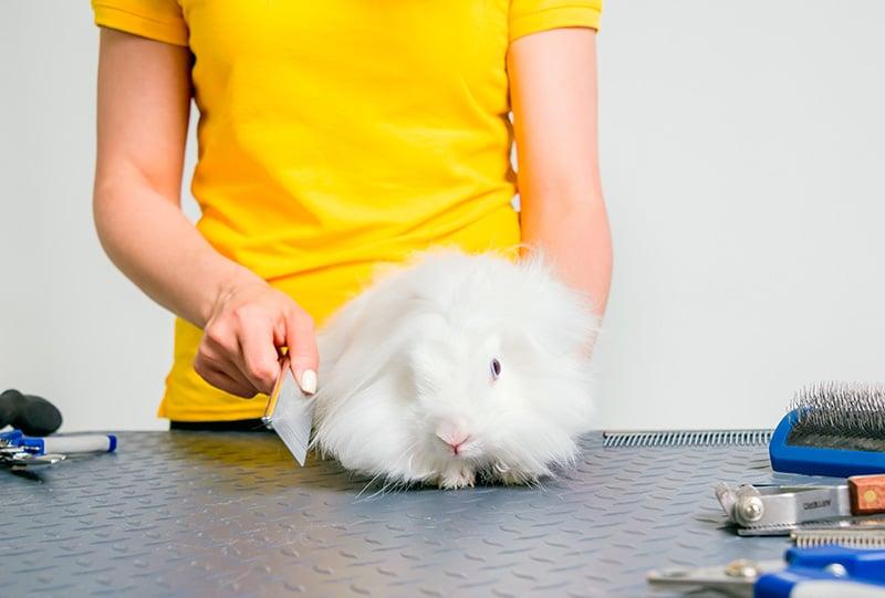 Woman combing rabbit for fleas