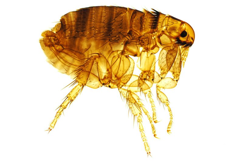 Photo of Dog flea - Ctenocephalides Canis