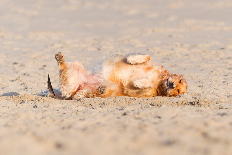 Dog rolling in sand on beach