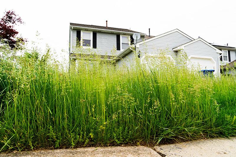 Long grass in yard