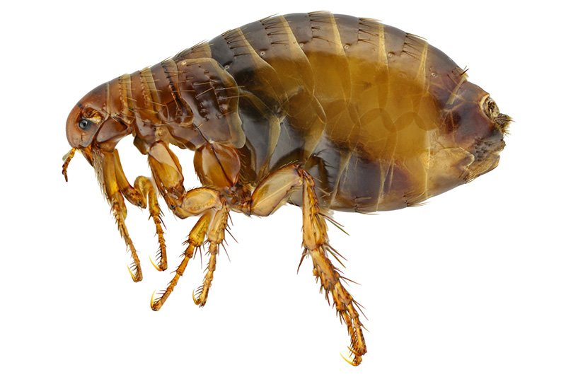 Photo of Human flea - Pulex Irritans