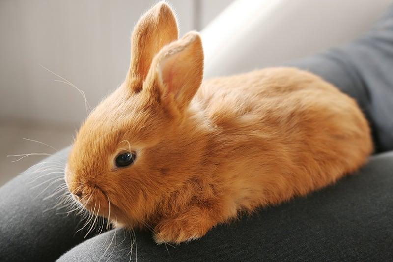 Pet rabbit sitting on woman's lab