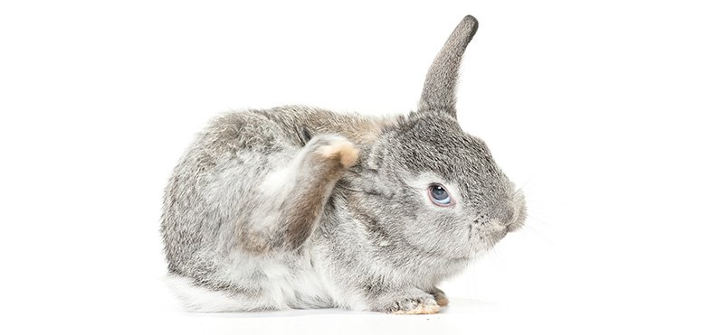 Rabbit scratching itself because of itching flea bites