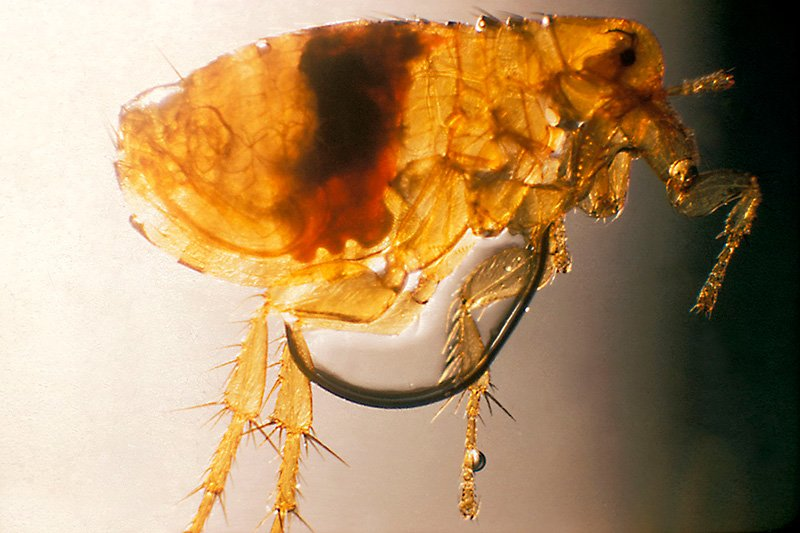 Photo of Rat flea - Xenopsylla Cheopis or Nosopsyllus Fasciatus