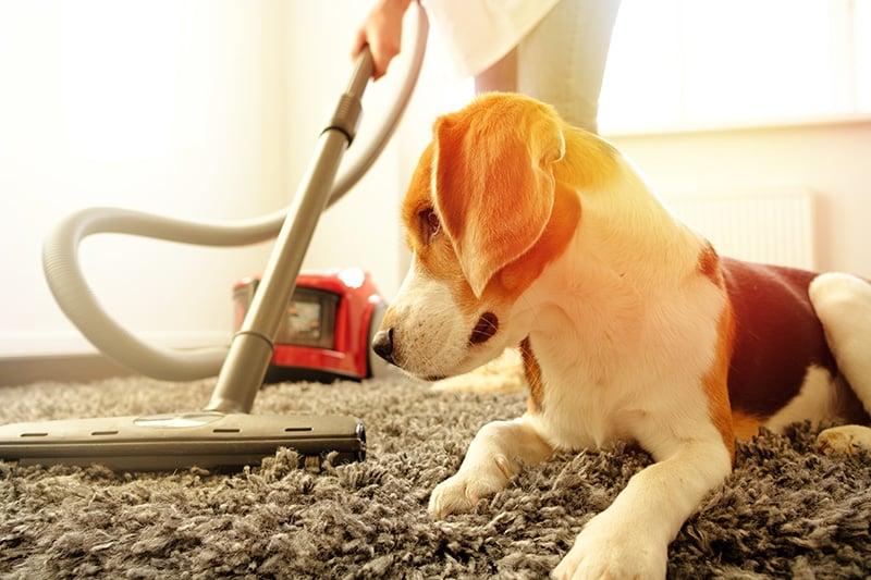 Vacuuming carpet while dog is watching