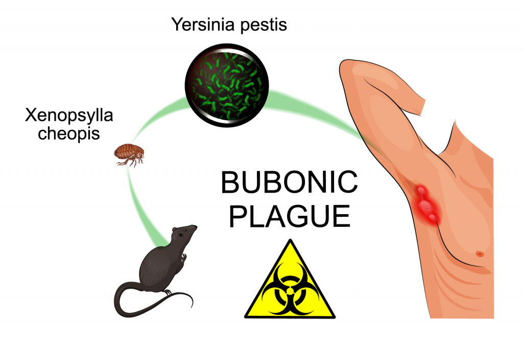 Illustration of fleas spreading Yersinia Pestis causing bubonic plague
