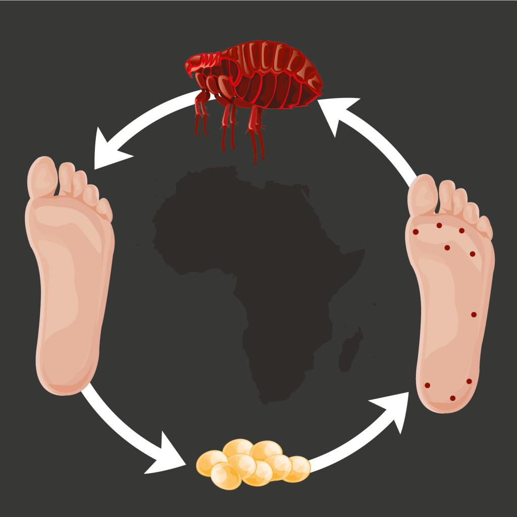 Illustration that shows how sand fleas bite feet and lay eggs inside them