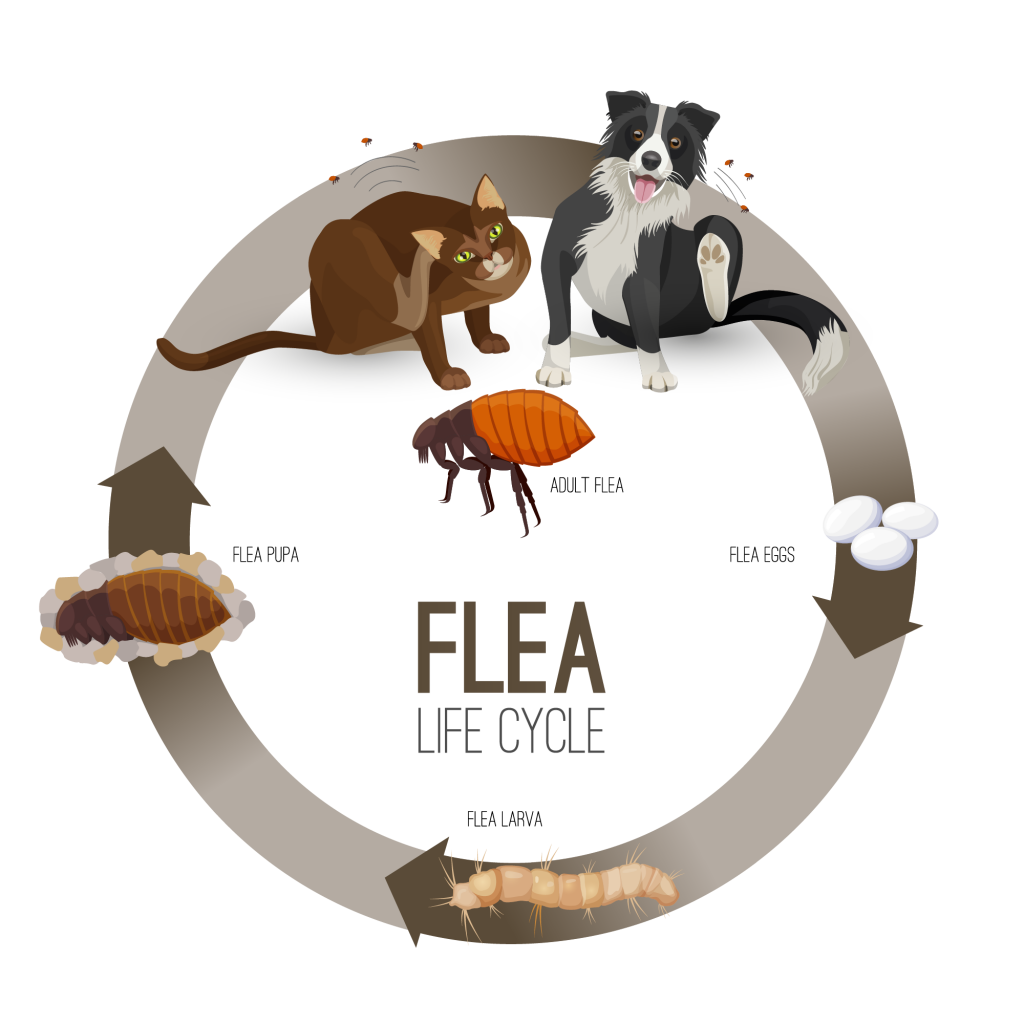 Illustration of four stage flea life cycle
